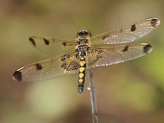 Calico Pennant (female), Hardy Road Conservation Area (Bill Bunn) Tags: calicopennant dragonfly falmouth maine