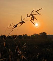 Bend (Robyn Hooz) Tags: sun sole erba grass mattino morning dawn alba sunrise orange padova