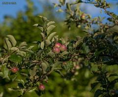 """Leipzig, Rietzschke-Wanderweg, """"wilder Apfelbaum"""" (joergpeterjunk) Tags: leipzig outdoor pflanze baum früchte wilderapfelbaum canoneos50d canonef100mmf28lmacroisusm"""