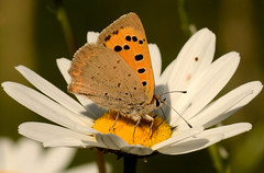 Small Copper Butterfly (Severnrover) Tags: small copper butterfly wild flower oxeye daisy insect wildlife natural history flora fauna beauty