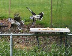 Photo#164-Amrican Blue Jays-Sharing Is Not An Option! (Jo Zimny) Tags: 365the2018edition perpendicular lines fence platform feeder bluejays fighting squabbling peanuts food 3652018 day164365 13jun18