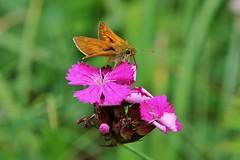 Skipper (Hugo von Schreck) Tags: hugovonschreck butterfly schmetterling falter insect insekt macro makro skipper canoneos5dsr tamron28300mmf3563divcpzda010 ngc onlythebestofnature