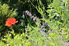 CKuchem-5860 (christine_kuchem) Tags: baum bienenweide blumen blüte blüten frühsommer garten hausgarten hecke insekten juni karde katzenminze mohn nahrung naturgarten nektar pflanze privatgarten schöllkraut wildblumen wilde ziergarten naturnah natürlich rot äste