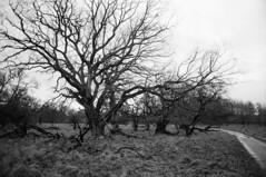 Nær Trepile Låge (holtelars) Tags: asahi pentax spotmatic spotmaticii spii smctakumar takumar 24mm f35 film 35mm analog analogue ilford fp4 ilfordfp4 100iso xtol bw blackandwhite monochrome filmphotography filmforever ishootfilm larsholte homeprocessing landscape deerpark trepile denmark danmark winter park trees field