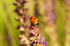 Лакомство для божьей коровки / Delicacy for ladybug (Владимир-61) Tags: природа лето июнь цветок насекомое божьякоровка макро nature summer june flower insect ladybug macro sony ilca68 minolta 28135 natureinfocusgroup