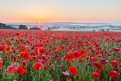 Cotswold poppies (LongLensPhotography.co.uk - Daugirdas Tomas Racys) Tags: poppyfield seaofred beauty cotswold cotswolds countryside daugirdas dawm english farm field haze landscape longlensphotography mist morning poppies poppy red remembrance rising rural summer sun sunrise warm