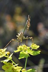 Ninfa de Empusa pennata (esta_ahi) Tags: fontrubí empusapennata empusa pennata empusidae mantodea mantis palo insectos fauna penedès barcelona españa spain испания euphorbia euphorbiaceae flora