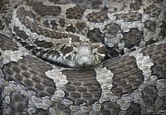 Eastern Massasaauga Rattlesnake (Nick Scobel) Tags: eastern massasauga rattlesnake rattler sistrurus catenatus venomous snake pit viper rattle coiled defensive cryptic pattern scales vibrance