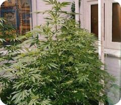 image_resize (Watcher1999) Tags: african buzz thc seeds strains cannabis sativa medical marijuana growing plant weed smoking ganja legalize it
