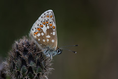 Northern Brown Argus (Tim Melling) Tags: aricia artaxerxes northern brown argus butterfly timmelling
