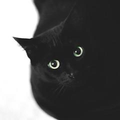 26 / 52 : 1 (Randomographer) Tags: 52weeks cat feline gato kitty cute felis catus kat 猫 貓 kočka kissa katze γάτα חתול बिल्ली macska köttur kucing 고양이 кошка katt แมว con mèo fuzzy nose whiskers fur furry face animal pet friend companion black green eyes close up composition