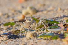 ...breakfast time (Santanu Sen) Tags: animal crustacean crab ghostcrab sea seashore beach vijaynagarbeach andamansea island andaman india