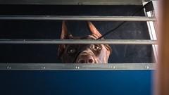 Who is he? (zola.kovacsh) Tags: outdoor animal pet dog club show dobermann doberman pinscher