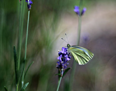 Nice place (Magreen2) Tags: lavendelheltrio lavender butterfly plant bokeh soft warm light mood insect colours oldlens vintage trioplan100 lavendel schmetterling stimmung weich farben licht
