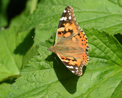 Painted Lady (John_E1) Tags: paintedlady butterfly vanessa cardui insect macro closeup leaf