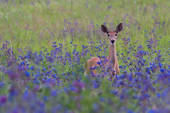 Deer in the wildflowers (CraigGoodwin2) Tags: