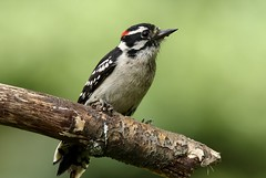 Woodpecker (Diane Marshman) Tags: downy woodpecker adult male mature black wings face white spots chest breast small spring northeast pa pennsylvania nature wildlife