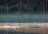 2891 (Mikael Laaksonen Photography) Tags: water bird reed birch morning
