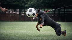 DSC_0235 (zola.kovacsh) Tags: outdoor animal pet dog club show dobermann doberman pinscher