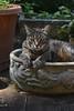 Camille's best rabbit impersonation (rootcrop54) Tags: camille female tabby pet rabbitplanter paws neko macska kedi 猫 kočka kissa γάτα köttur kucing gatto 고양이 kaķis katė katt katze katzen kot кошка mačka gatos maček kitteh chat ネコ