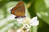 Black Hairstreak (f) (~ **Barbara ** ~) Tags: butterfly blackhairstreak small scarce rare uk bramble wildlife woodland glapthorn macro canon7dii