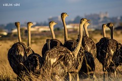 Ostrich (khelan919) Tags: birdsofafrica ostrich nairobinationalpark kenya nairobi wildlife wildlifephotography animal animalplanet africa birds
