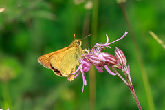 Large Skipper (Mark Wasteney) Tags: butterfly insect closeup fauna wildflowers flora flower orange pink wildlife