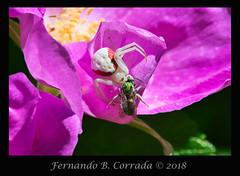 Goldenrod Crab Spider (8895) (fbc57) Tags: nikon300f4vrpftc14x nikond850 vermont williston catamountoutdoorfamilycenter crabspiders arachnids spiders misunemavatia goldenrodcrabspider
