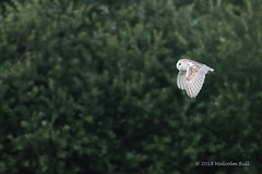 Barn Owl - Woods Mill (27) (Malcolm Bull) Tags: include woods mill barn owl 20180619woodsmill0027edited1web