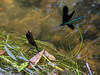 Ebony Jewelwing Damselfly (eddee) Tags: wisconsin ozaukeecounty treasuresofoz nature environment milwaukeeriver river water riveredge center newburg damselfly