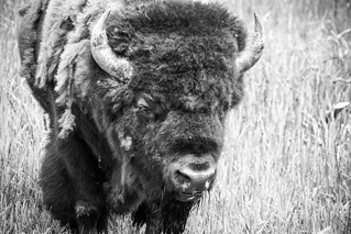 B&W of a yellowstone bison