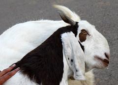 furry profile (kexi) Tags: india asia canon uttarpradesh fatehpursikri animal goat february 2017 fur white brown instantfave