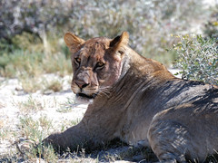 Lioness in Etosha (Nevrimski) Tags: lioness lion etosha namibia