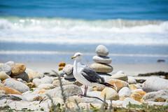 Seagull at Spanish Bay (AnotherSaru - Limited mode) Tags: carin pebblebeach ca california gull seagull pacific ocean beach rock stacking bird monterey 17miledrive