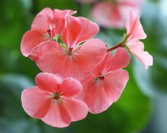 Il est des jours [...] Où l'on se sent plus léger qu'un oiseau (Solène.CB) Tags: impressiondeprintemps paulverlaine fleur flower bright éclatante light légère légèreté transparent transparence printemps spring été summer solènecb géranium geranium rose pink floating nature