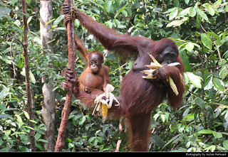 Orang Utan mother and child, Tanjung Puting NP, Borneo, Indonesia