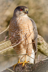 Coopers Hawk (tresed47) Tags: 2018 201802feb 20180219homebirds birds canon400mmf56l canon7d chestercounty content coopershawk february folder hawk pennsylvania peterscamera petersphotos places season takenby us winter ngc