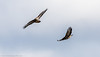 9Q6A8131 (2) (Alinbidford) Tags: alancurtis alinbidford birdofprey brandonmarsh commonbuzzard nature wildbirds wildlife