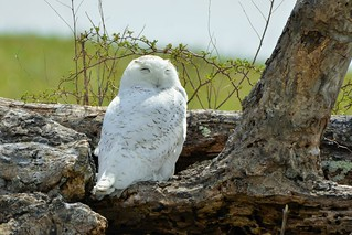 Snowy Owl juvenile male by Jackie B. Elmore 3-27-2018 Taylor Co. KY
