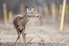 White-tailed Deer (wn_j) Tags: wildlife wildanimals wildlifephotography nature naturephotography nationalwildliferefuge deer whitetaileddeer canon canon500mm canon1dxii johnheinz johnheinznwr heinzwildlife heinz heinznwr