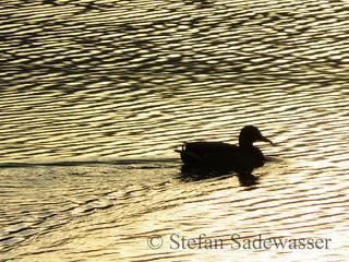 Stockente (Anas platyrhynchos) im Sonnenlicht