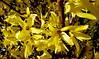 Forsycja. (andrzejskałuba) Tags: polska poland pieszyce dolnyśląsk silesia sudety europe panasoniclumixfz200 roślina plant kwiat flower forsycja forsythia żółty yellow natura nature owad insect 100v10f