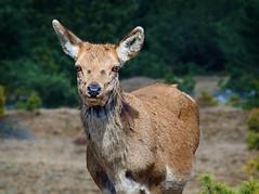 Red Deer (Cervus elaphus) (gerrit-worldwide.de) Tags: reddeer rothirsch rothirschkuh vintagelens olympus em1 fzuiko20050 om deer hirsch hirschkuh female