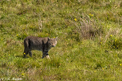 On the prowl (Ronda Hamm) Tags: california wildlife mammal nature nationalpark bobcat cat pointreyesnationalseashore canon 100400mkii 7dii animal