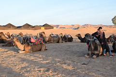 Camels for Hire (meg21210) Tags: camels camel dromedary dromedaire morocco sahara desert erfoud herd sand tuareg camelrides
