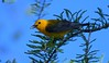 Prothonotary warbler with a seed on its tongue (adirondack_native) Tags: prothonotary warbler eating seed tongue yellow brilliant color green needles blue