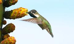 Costa's Hummingbird -- Male (Calypte costae); Catalina, AZ, [Lou Feltz] (deserttoad) Tags: nature animal bird wildbird wildlife hummingbird tree desert arizona cactus bloom flower
