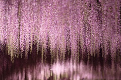 147-year-old wisteria, night / 藤の花 夜 (Hideo N) Tags: cnn dreamdestinationsfor2014 dreamdestinations wisteria 藤の花 藤 夜 night purple flower park fujifilmxt1 xt1 xf56mmf12rapd