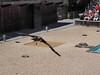 P4220235 (Soken9) Tags: animal aigle oiseau