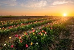 Tulip fields forever (Thierry Hudsyn) Tags: canon6d ef1635mmf4lisusm tulip tulipfields landscape sunset couchédesoleil paysage wallonie belgique